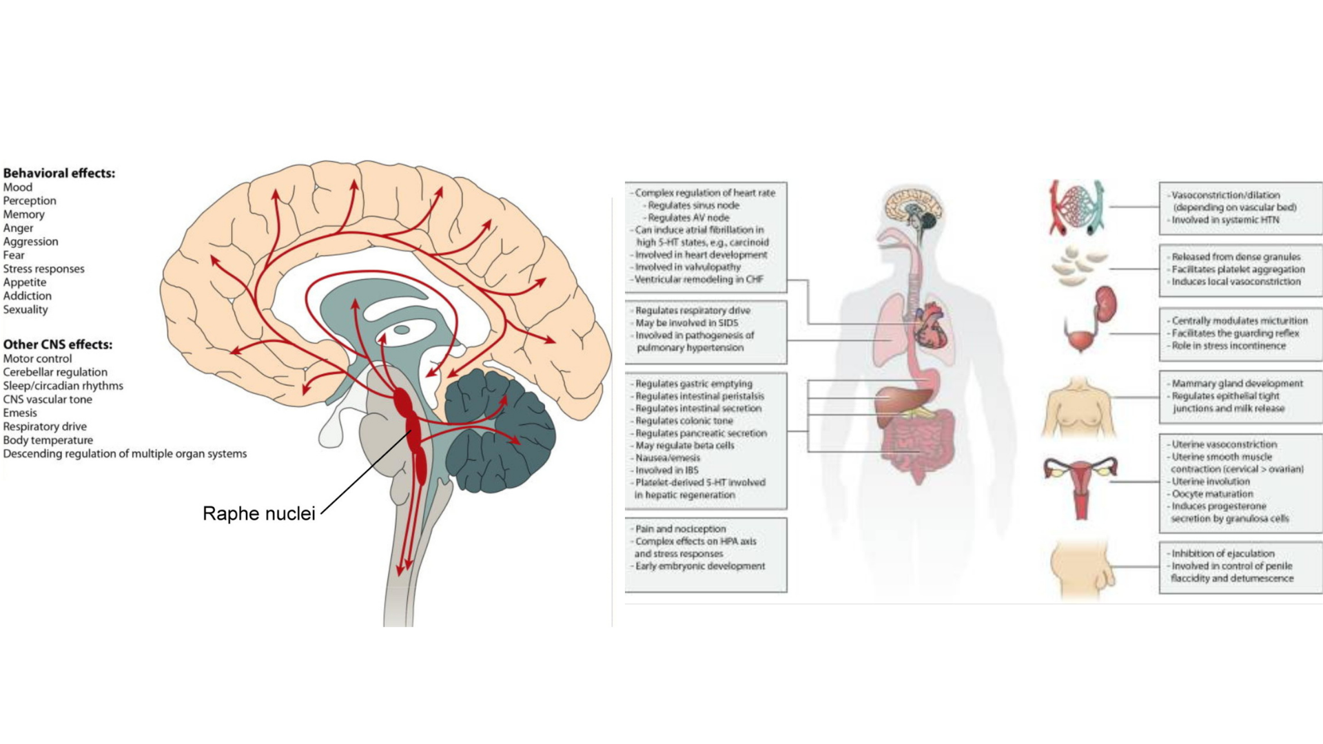 Image of the brain and gut connection that yoga can impact