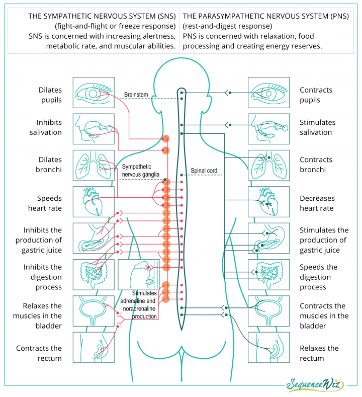 Anatomical diagram of the sympathetic and parasympathetic nervous systems
