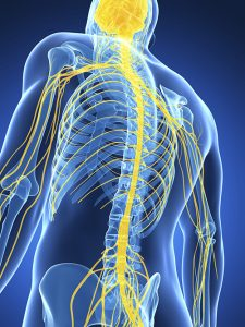 Vagus nerve, anatomy, yoga and anatomy, role of vagus nerve