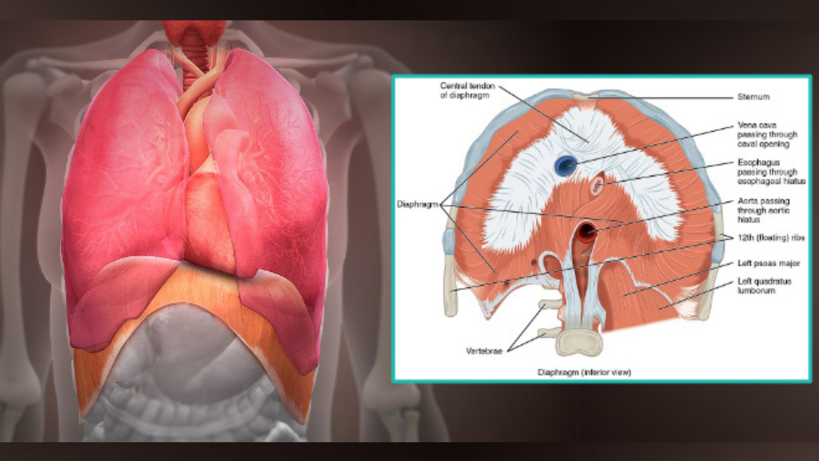 How to practice yoga mindfully and with anatomical knowledge of the diaphragm