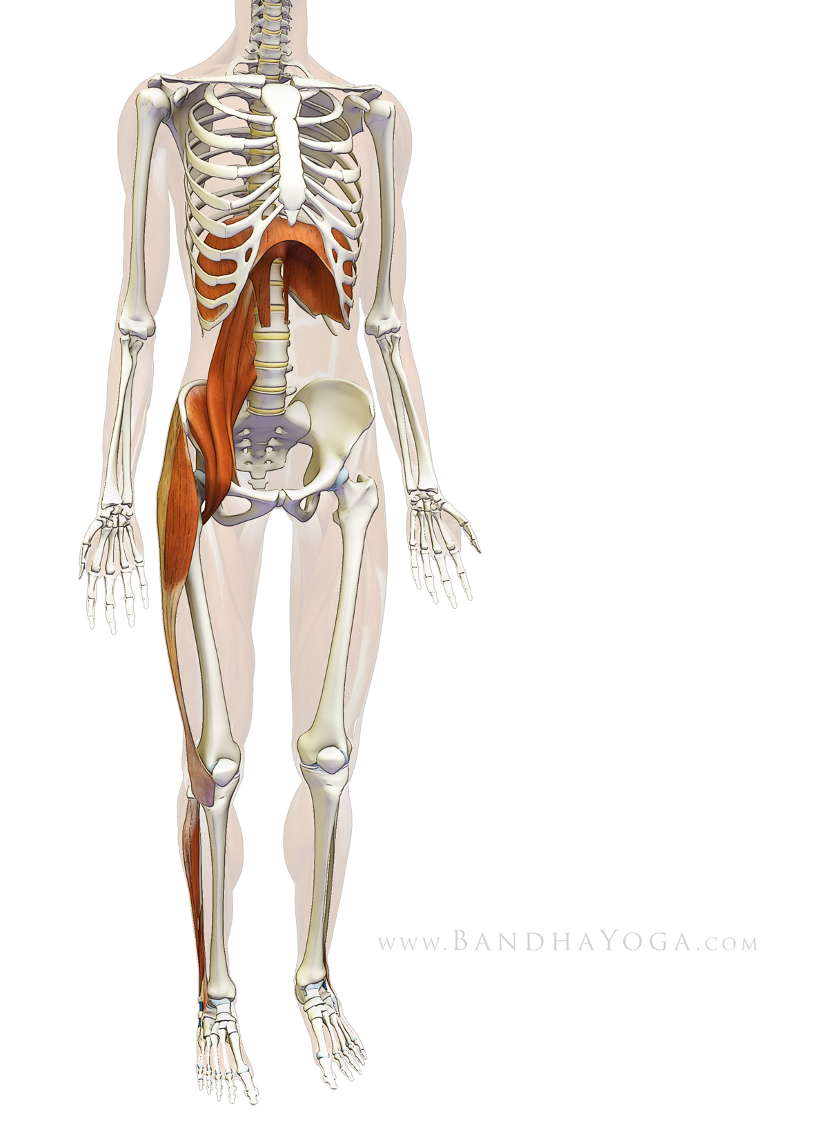 Sankalpa, Visualization, and Yoga: The Diaphragm Psoas Connection ...
