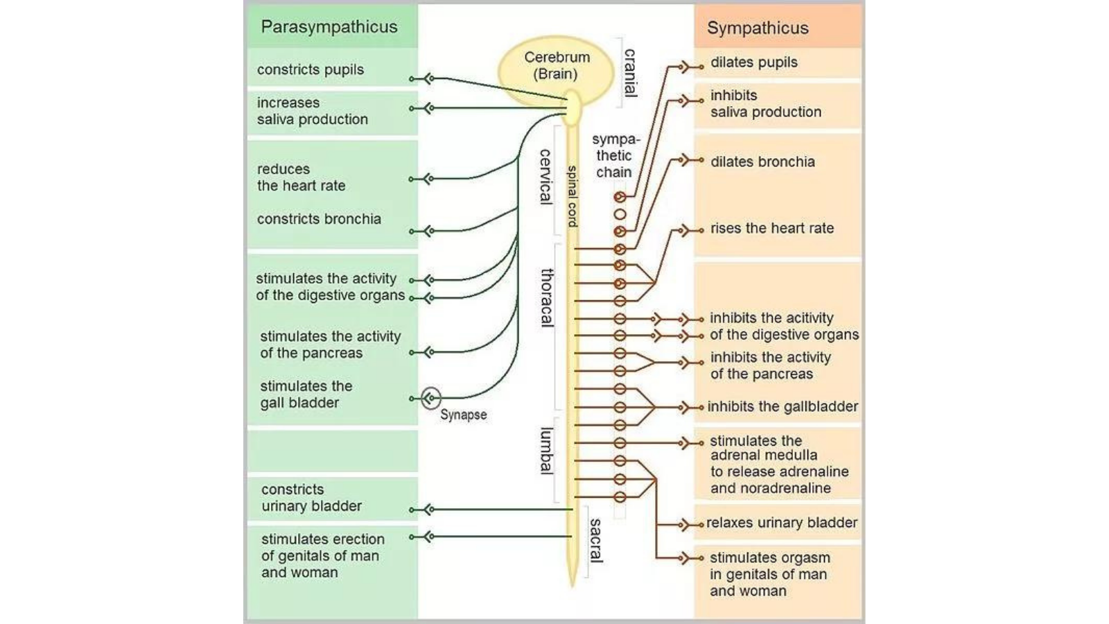 Chart illustrates the functions of the Automatic Nervous System (ANS)