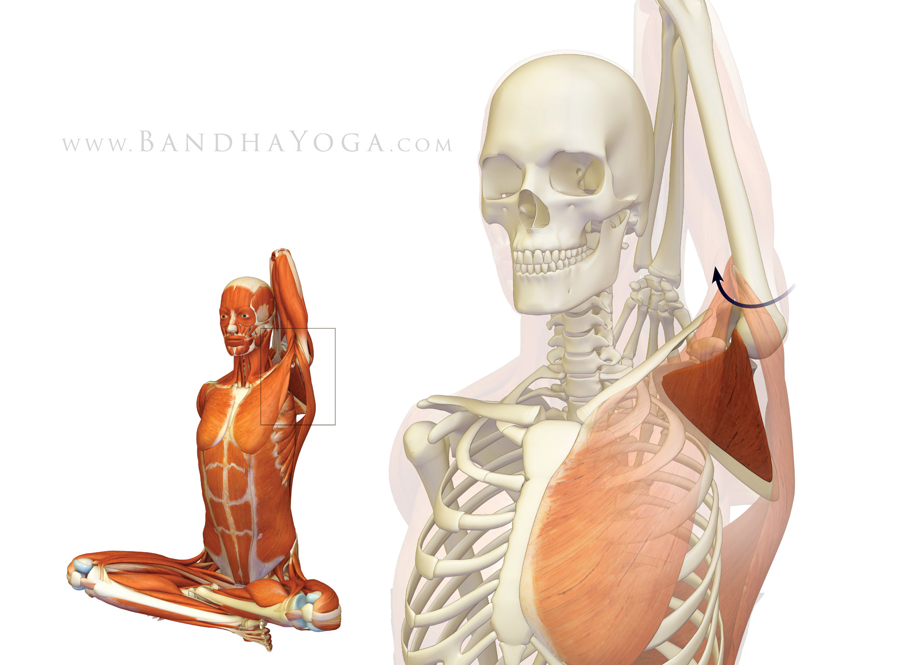 Shoulder Biomechanics In Yoga Part 1the Subscapularis Muscle