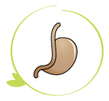 Stomach, first step in digestion process, muscle contractions, enzymes, food breaks down