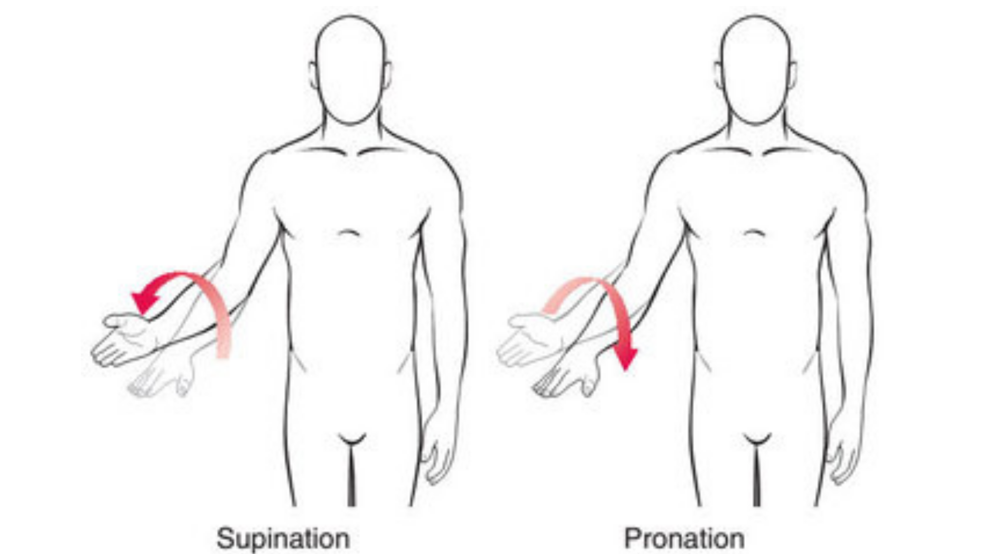 supination_and_pronation_anatomical_image