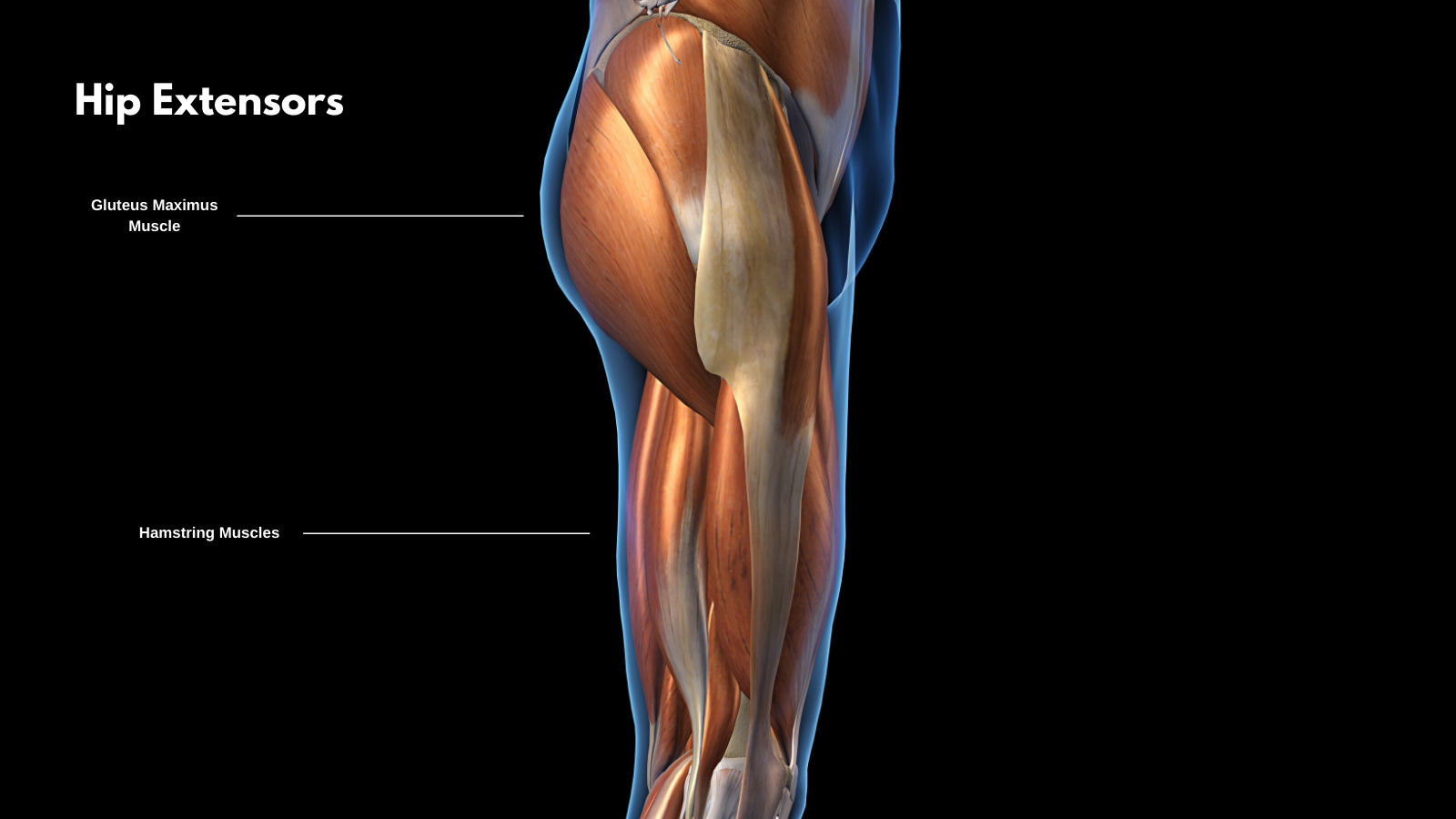 yoga anatomy - the hamstrings and glute muscles for hip extension and yoga backbends