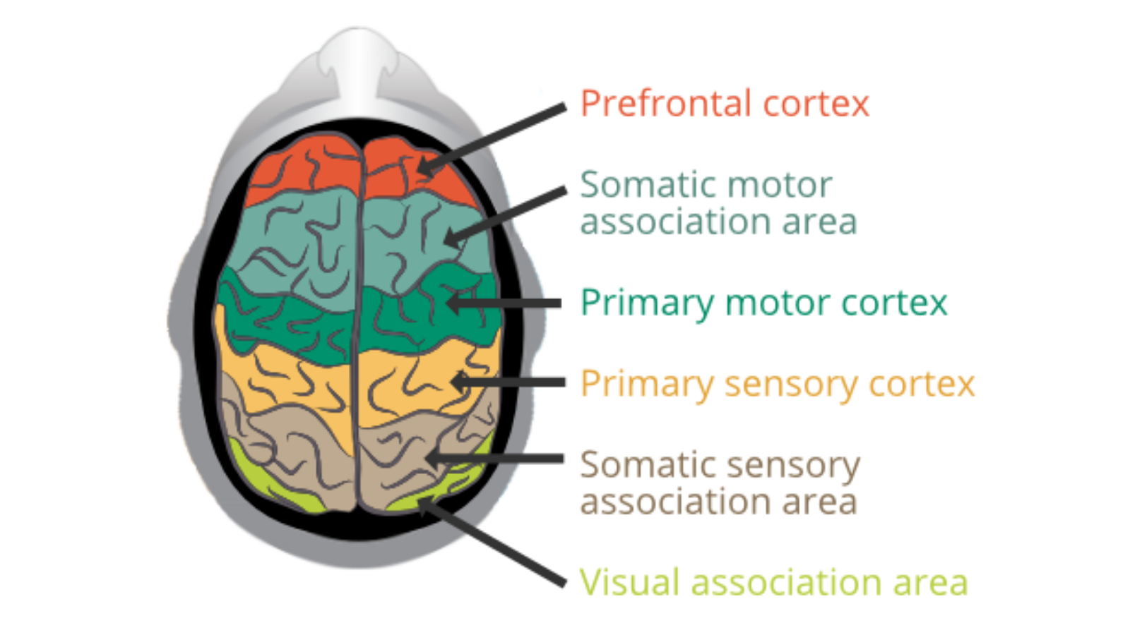Our brain's cerebral cortex is responsible for the majority of our intellectual functions and behavior