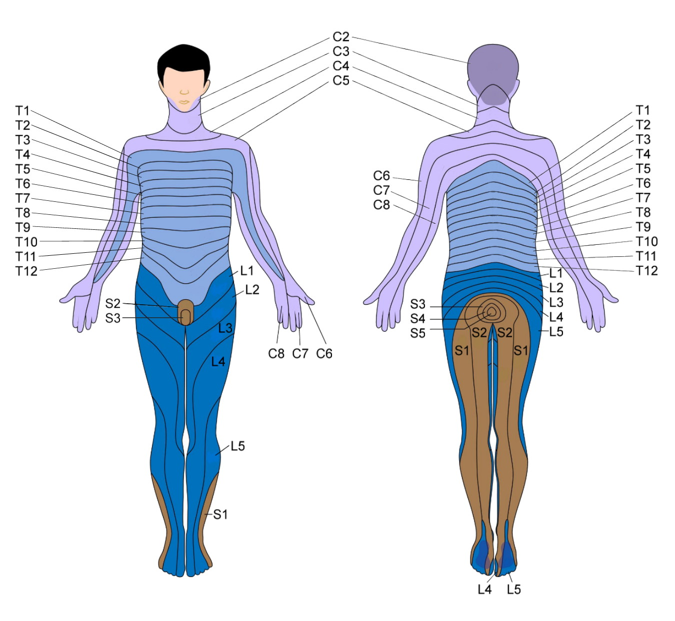 Dermatome_map, area of skin with single spinal nerve, nerve compression