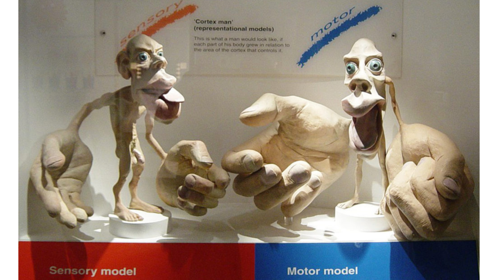 Image of the sensory and motor homunculus