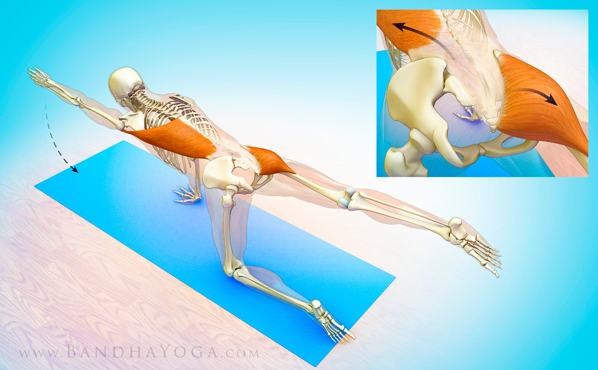 Yoga anatomy of muscles engaged in bird dog pose