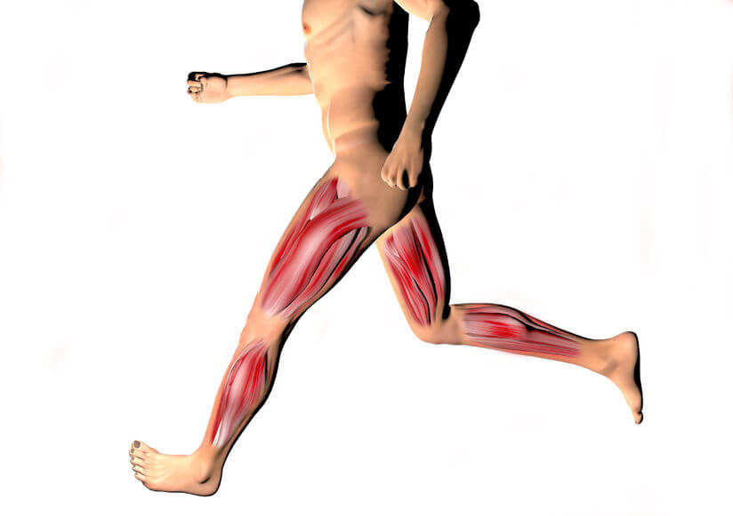 Anatomical diagram of the muscles of the legs, which move more efficiently thanks to muscle memory