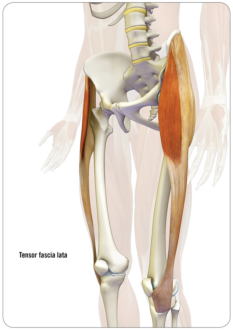 Tensor fascia lata, TFL, reciprocal inhibition, synergist to stabilize the knee