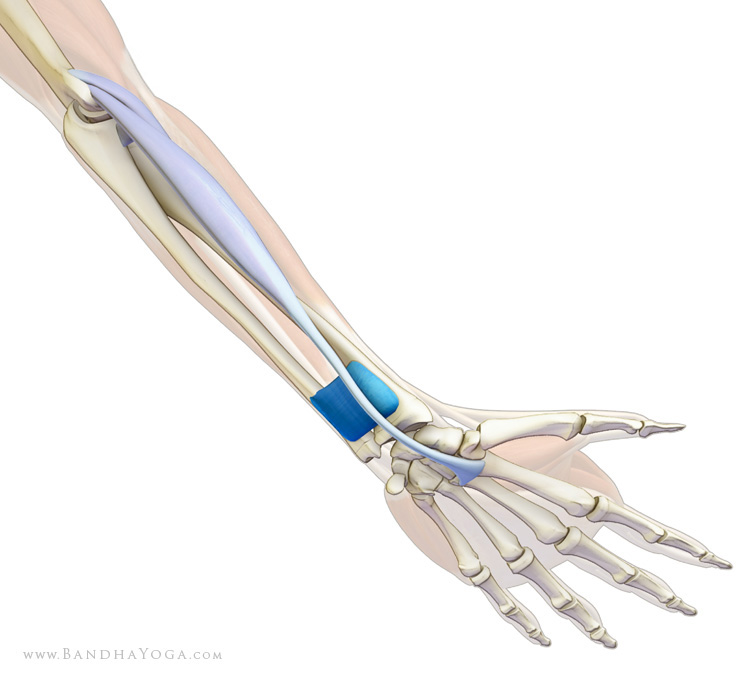 An anatomical picture of the arm and wrists
