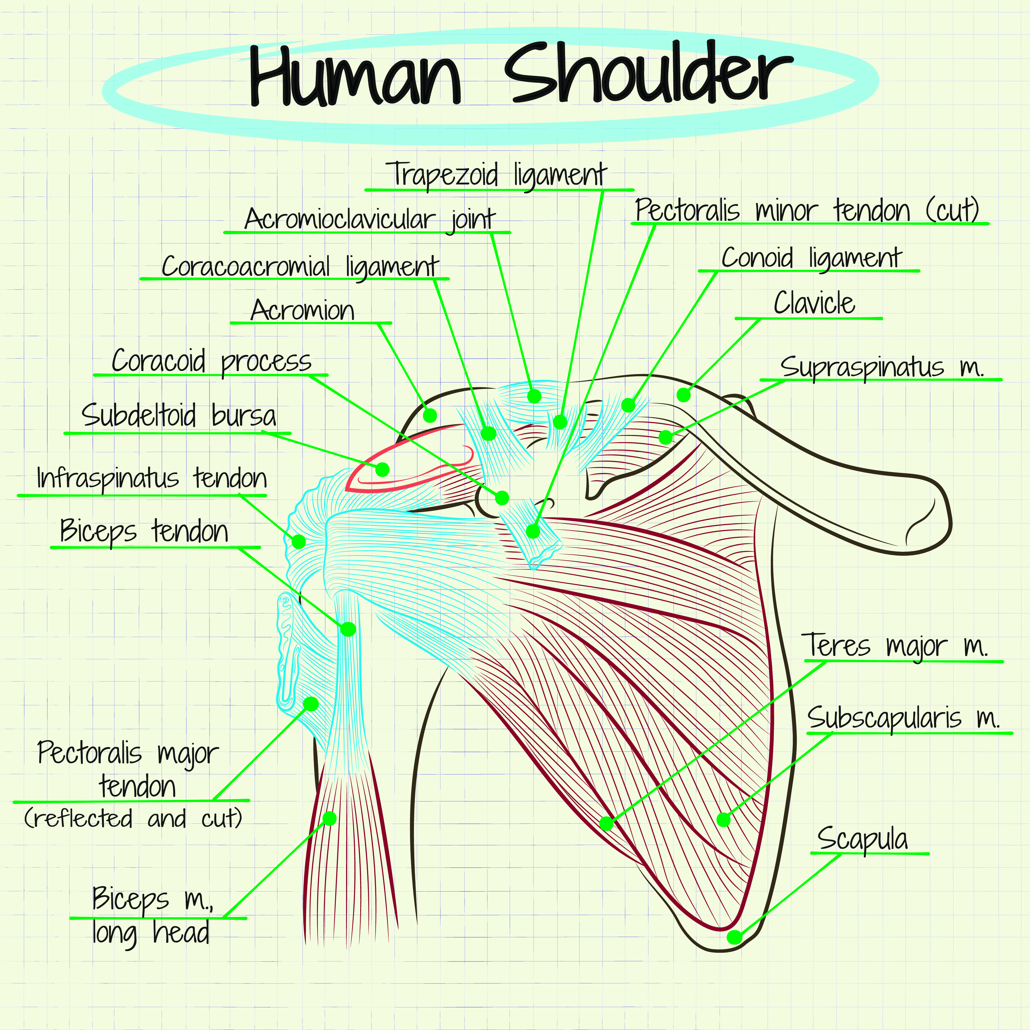 detailed anatomical view of the shoulder