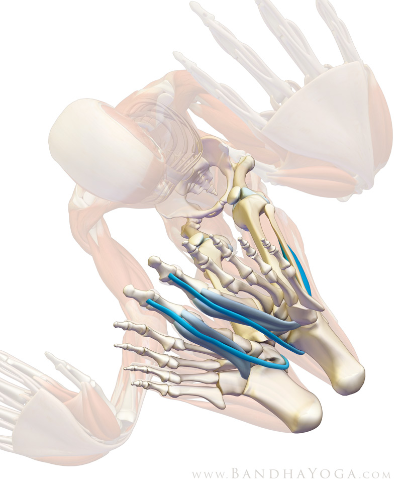 Yoga Anatomy: How Your Big Toes Can Strengthen Your Practice ...