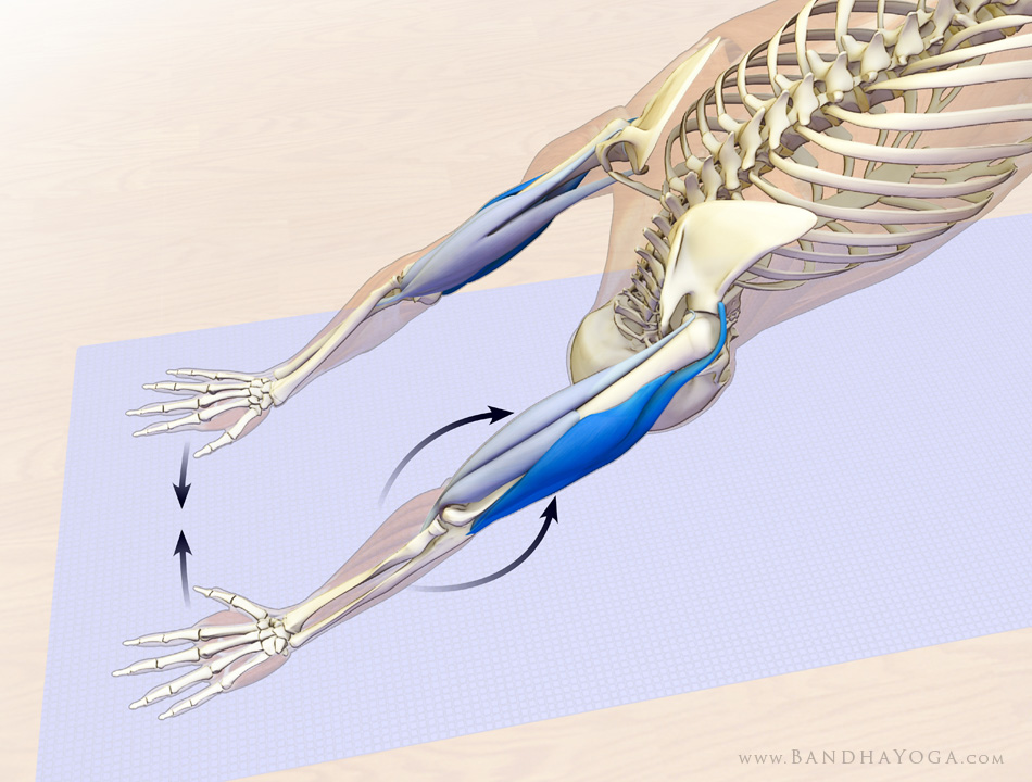 Anatomical picture showing the co-contraction of the elbow flexors and extensors to bend the elbows and prevent hyperextension during Downward-Facing Dog yoga pose