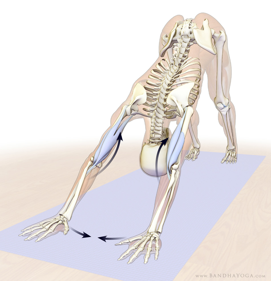Anatomical picture showing a figure attempting to drag the hands towards each other to bend the elbows and prevent hyperextension during Downward-Facing Dog yoga pose
