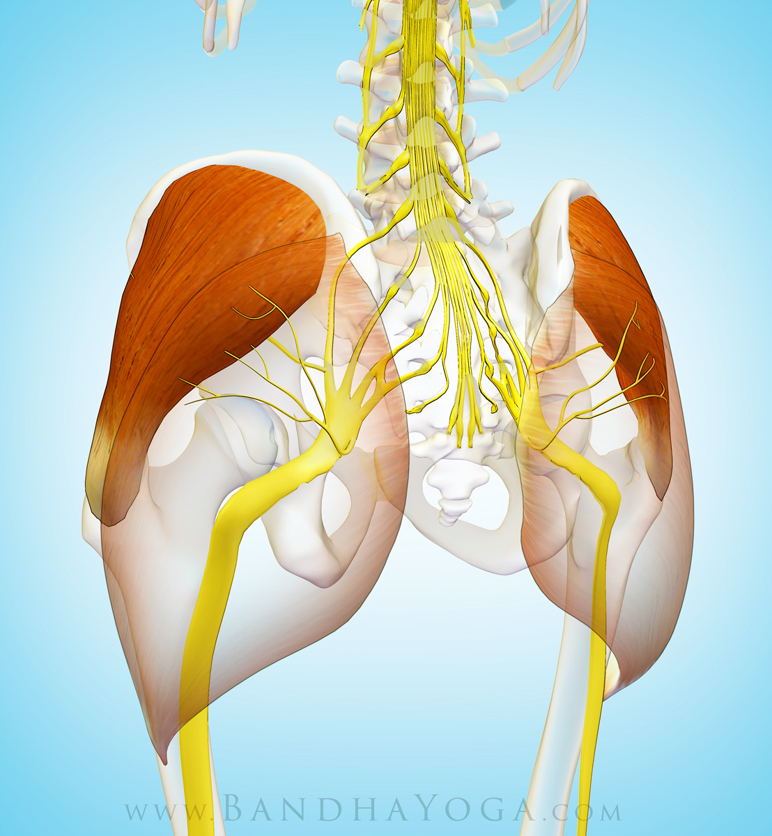 Yoga Anatomy: The Gluteus Medius Muscle in Yoga | YogaUOnline