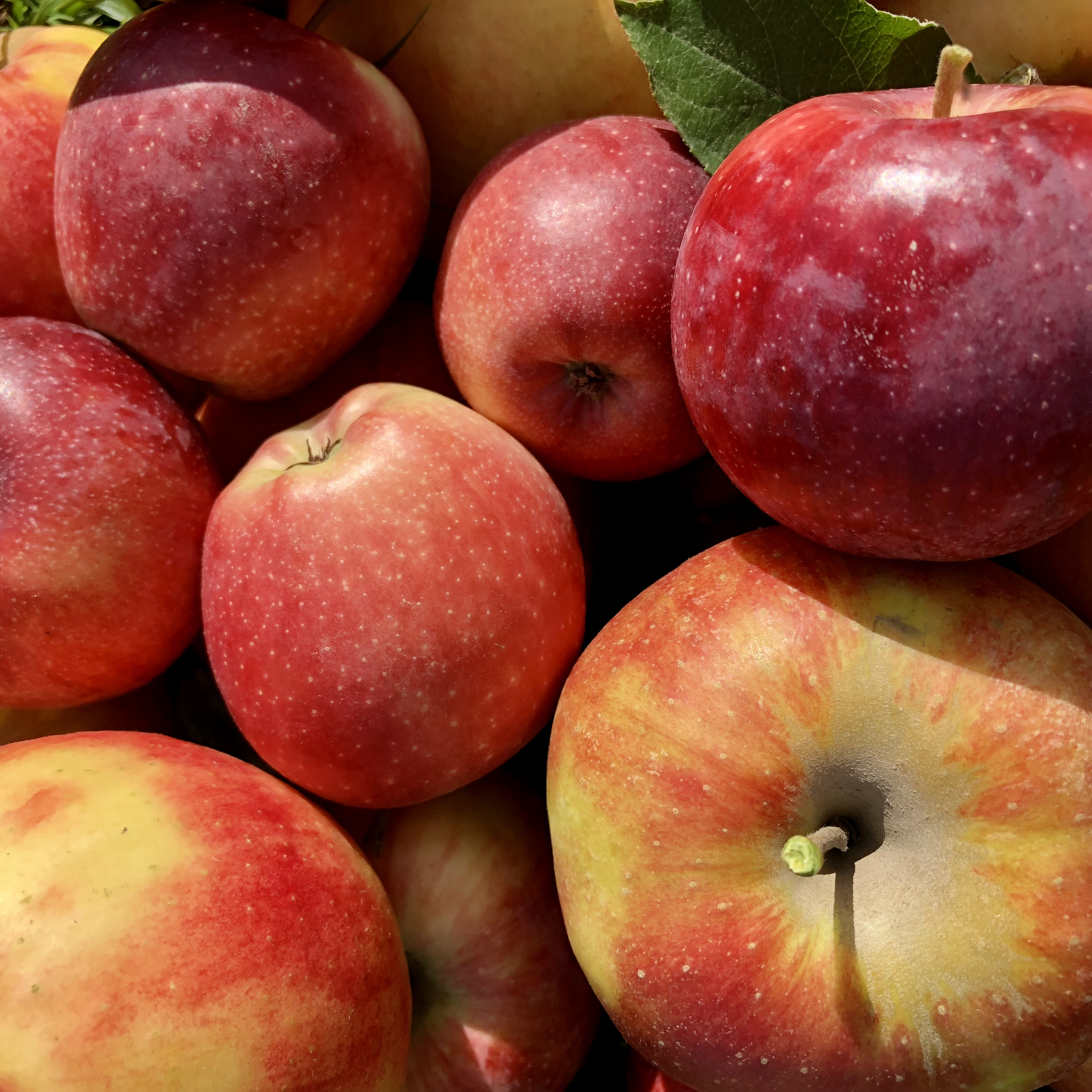 delicious apples, abundance, sun-kissed and juicy apples