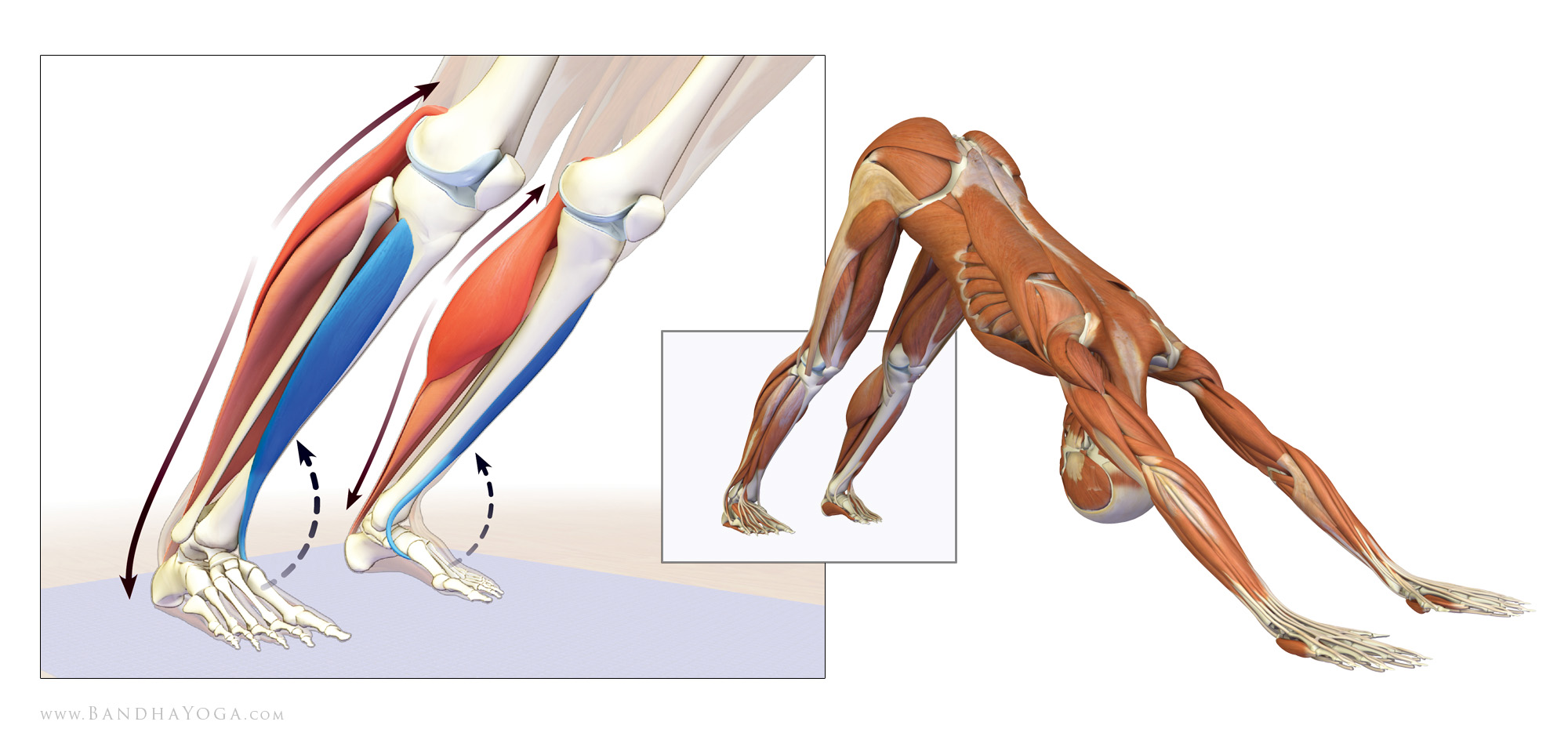 Yoga Anatomy: Using Muscle Awareness to Lower Your Heels in Downward ...