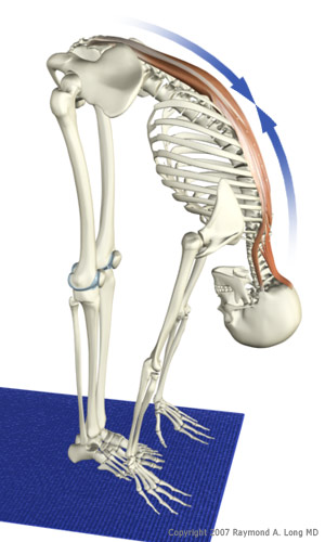 Deepen Your Yoga Practice: How to Work with the Muscle Spindles ...