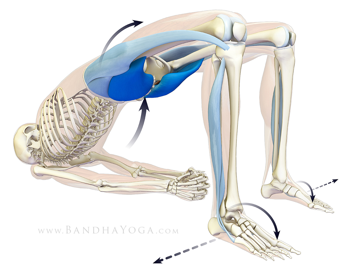 Yoga Anatomy: Engaging Your Glutes in Backbends | YogaUOnline