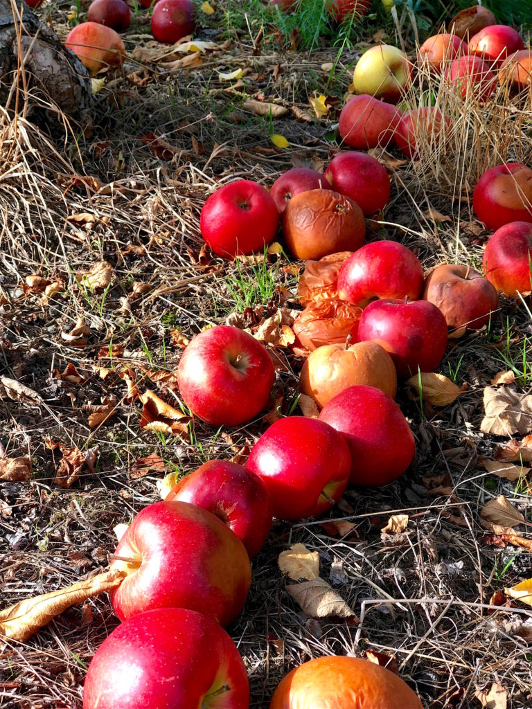 Rotting apples, life lessons, abundance and other observations ,yogic life