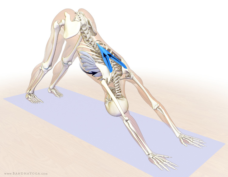 Dr. Ray Long: Stabilizing the Shoulders in Downward Dog ...