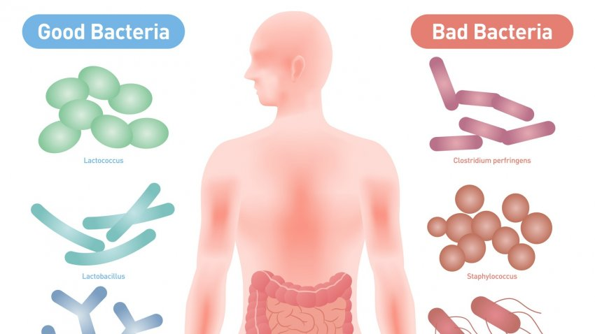 bbc weight loss bacteria definition
