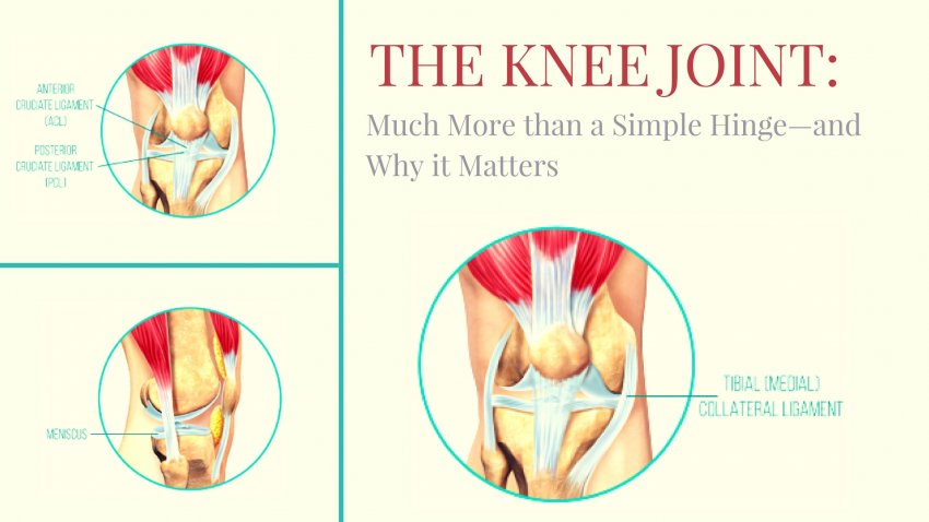 Anatomical diagram of the knee hinge joint