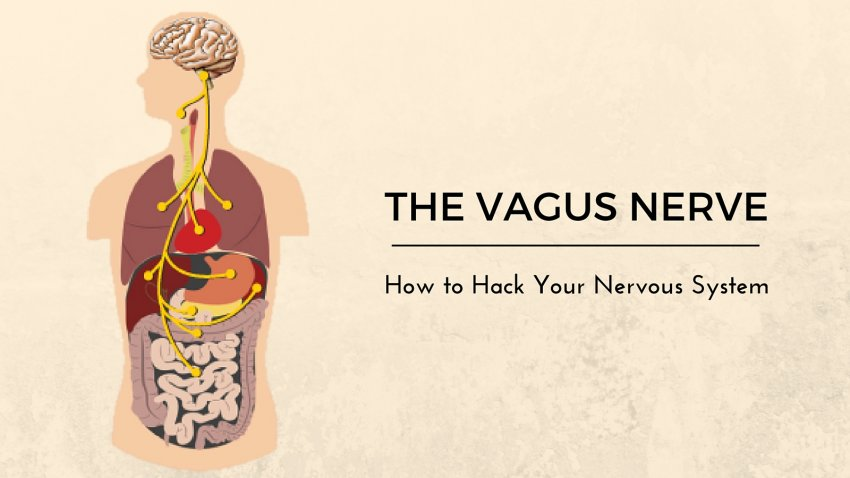 Vital Vagus What Is The Vagus Nerve And What Does It Do Yogauonline