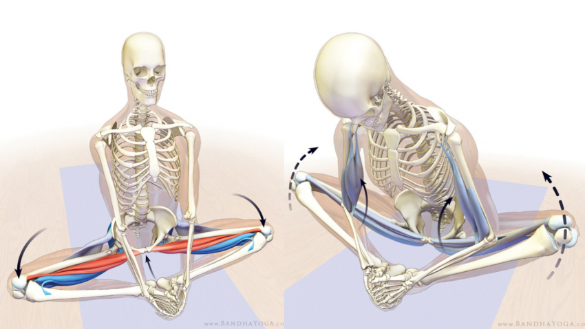 yoga anatomy diagram of skeleton in  baddha konasana (bound angle pose)