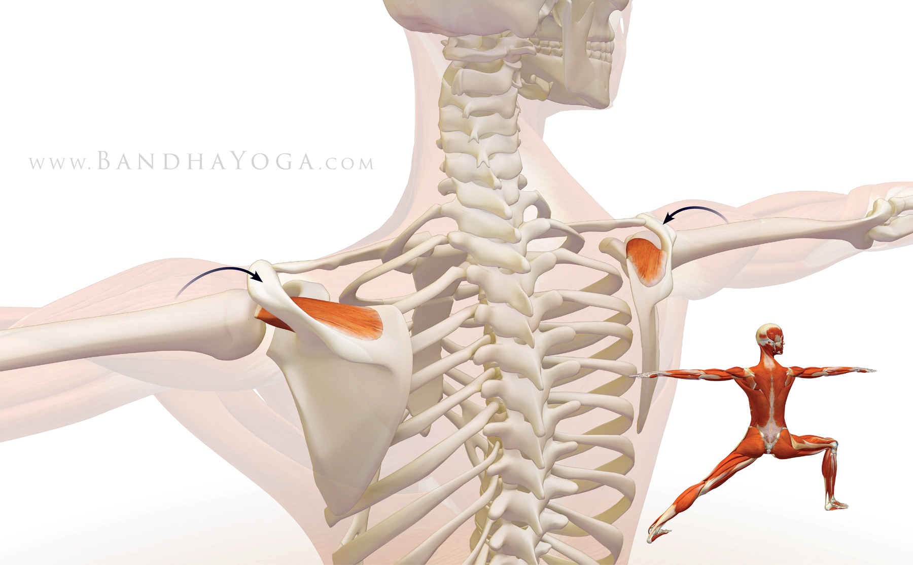 Shoulder Biomechanics Part 3 The Supraspinatus Muscle Yogauonline