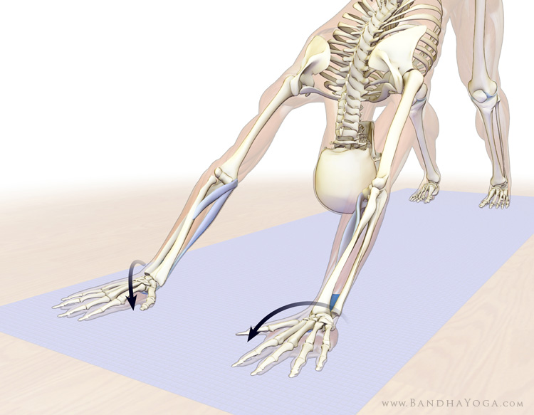 A skeletal picture of a figure in Downward Dog Pose (Adho mukha svanasana), particularly the forearm pronators in yoga