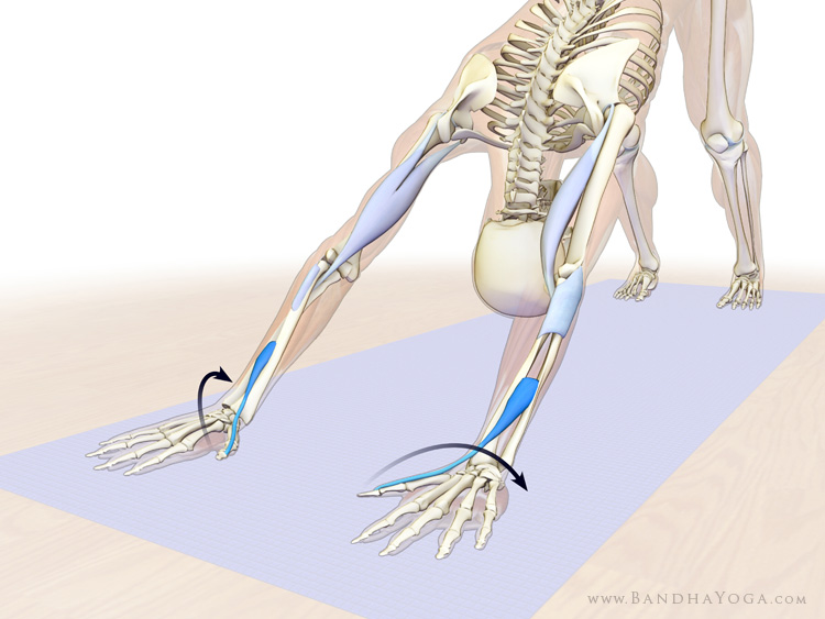 An anatomical illustration of a figure in Downward Facing Dog pose, particularly the forearm supinators